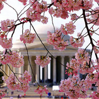 National Cherry Blossom Festival Washington DC
